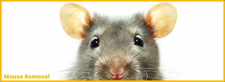 Mouse-Removal-Katy-Texas