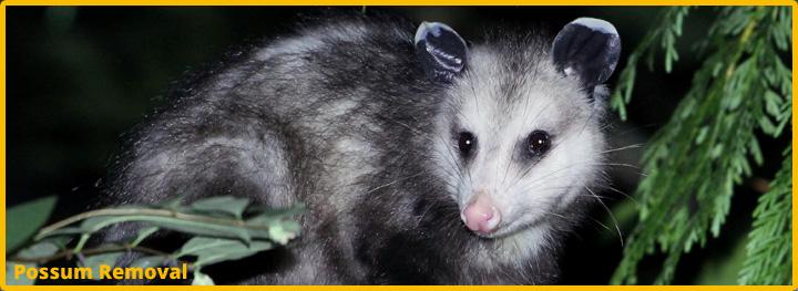 Possum-Removal-Katy-Texas