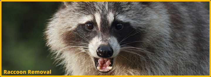 Raccoon-Removal-Katy-Texas