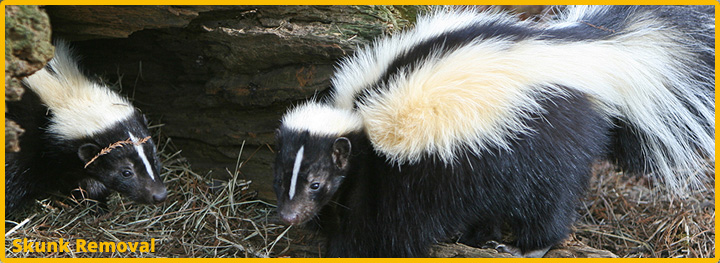 Skunk-Removal-Katy-Texas