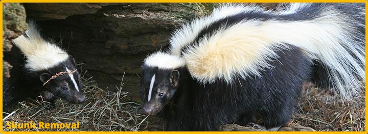 Skunk-Removal-Katy-Texas